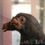 Проявление оспы у голубя