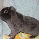 Вельветовый вислоухий крольчонок
