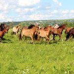Табун башкирских скакунов летом