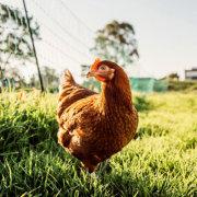 Несушка хай лайн — находка для птицефабрики 11