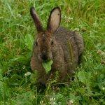 Кролик грызет лист одуванчика