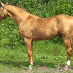 Конь соловый в яблоках
