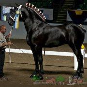 Обзор породы лошадей Русский тяжеловоз: видео и фото