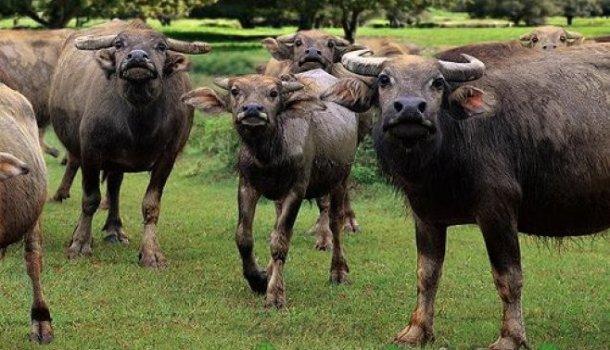 Разнообразные породы коров и быков, их фото и видео
