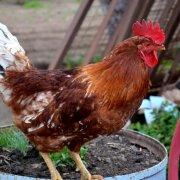 Особенности покупки и выращивания кросса Ломан Браун