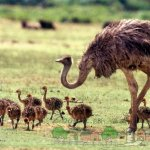 Страусиха гуляет с детенышами