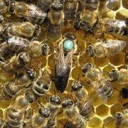 Дикие пчелы: их характеристика, фото и видео