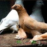 Птица окраса новатты (желтый)
