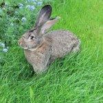 Кролик Серый Великан в траве