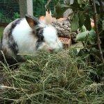 Черно-белый самец ест сено