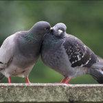 Заигрывающие голуби