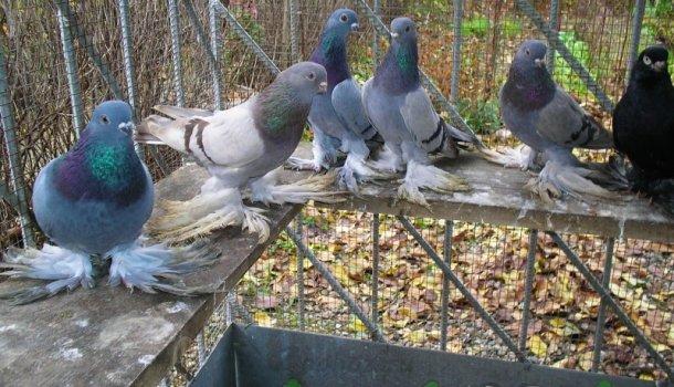 Кавминводские головатые щекатые – красивые и дикие иранские голуби 546