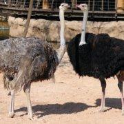 Где живет страус: обзор среды обитания и фото обзор