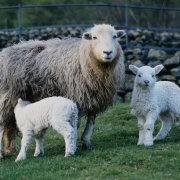 Чем нужно кормить коз во время беременности: советы специалсита