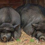 Две черные вислобрюхие свиньи
