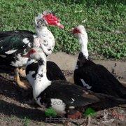 Самки индоуток не воспринимают и гоняют селезня: как подружить птиц