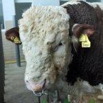 Голова украинского быка Реппа