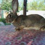 Бельгийский кролик на столе