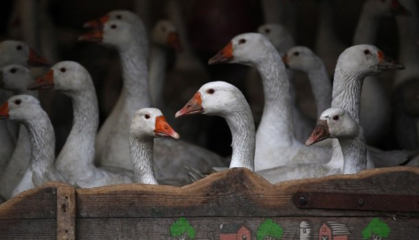 Блог о гусях - интересная и полезная информация для начинающих - Страница 2 из 2