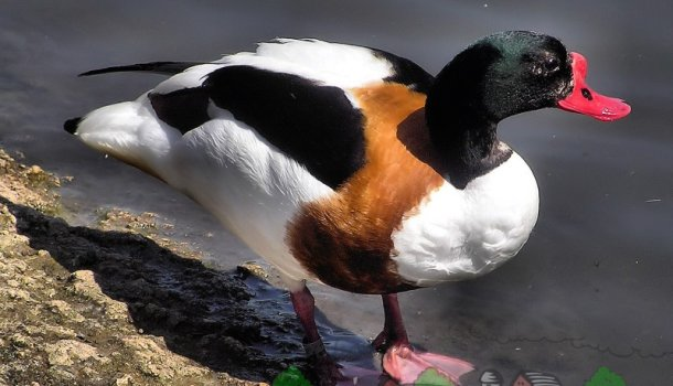 Грустная утка турпан с белыми глазами 971