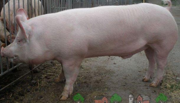 Блог о свиньях и кабанах