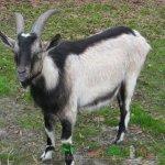 Коза окраса - Черный с белым