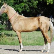 Обзор мышастой масти у лошадей: описание и фото