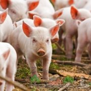 Глисты у поросят и свиней: симптомы недуга и методы его лечения