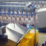 Конвеер птицефабрики с ощипанными тушками