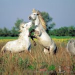 Танцующие в поле Камаргу