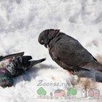Погибший голубь от болезни Ньюкасла