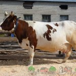 Большая айрширская корова
