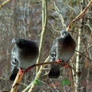 Болезнь оспа у голубей: симптомы и ее лечение