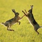 Два диких зайца