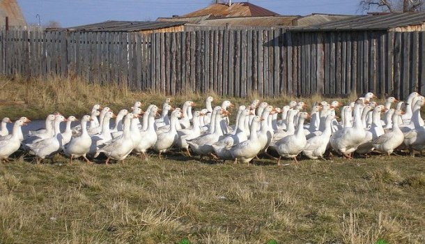 Рентабельность выращивания гусей 91