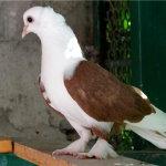 Краснодарский красивый голубь