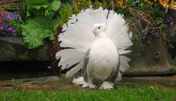 Обладатель самого пышного хвоста — павлиний голубь