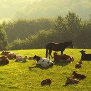 Картофель в рационе коровы: полезно или вредно