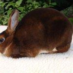 Кролик-рекс шикарного шоколадного цвета