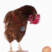 Линька весной у кур несушек: особенности протекания, причины и правильный уход