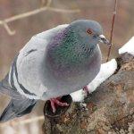 Сизый голубь на дереве