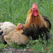 Признаки и симптомы птичьего гриппа у кур: лечение и профилактика болезни