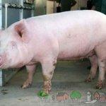 Белорусская мясная свинья