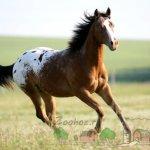 Чепрачная масть коня