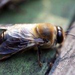 Взрослый самец пчелы