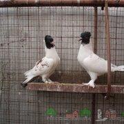 Обзор серпасто-выворотных голубей: их видео и фото