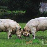 Бельгийские голубые коровы в раннем возрасте