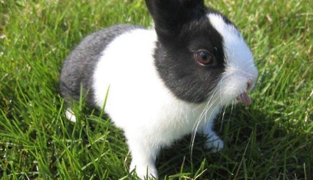 Виды и породы декоративных кроликов: описание, срок жизни, питание в домашних условиях и фото - Страница 2 из 2