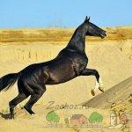 Черный конь резвится в песке