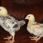 Цыплята десятидневные